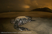A female Leatherback Sea Turtle, Dermochelys coriacea, nests at night on Grand Riviere, Trinidad, and returns to the Caribbean Sea. During peak nesting season in late May / early June, this beach will receive roughly 300 nesting Leatherback every night, making it one of the busiest and most important nesting locations in the world for the critically endangered species. Flash used with permit.