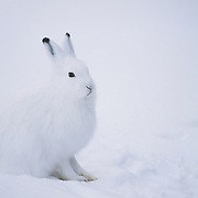 Arctic Hare in winter white camouflage. Canada