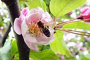 Nederland, Ubbergen, 10-4-2014Bijen bezoeken de bloesem, bloemen, van een fruitboom. kersenboom, kersenbloesem.Foto: Flip Franssen/Hollandse Hoogte