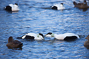 Fighting males in foreground and female Eider ducks - Somateria mollissima - on lake at Slimbridge Wildfowl and Wetlands Centre, England, UK