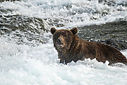 An adult Brown Bear looks in the turbulent water for spawning Sockeye Salmon at Brooks Falls in Katmai National Park and Preserve September 16, 2019 near King Salmon, Alaska. The park spans the worlds largest salmon run with nearly 62 million salmon migrating through the streams which feeds some of the largest bears in the world.