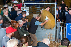 © Licensed to London News Pictures. 23/09/2019. Llanelwedd, Powys, Wales, UK. A Lleyn ram jumps a barrier.  The auction of rams gets going at 10.00am. The NSA (National Sheep Association) Wales & Border Ram Sale takes place at the Royal Welsh Showground in Powys, Wales, UK. Two NSA Wales & Border Ram Sales are held each year: An early one in August and the main one in September. Around 4,500 rams from about 30 breeds will be on sale. Photo credit: Graham M. Lawrence/LNP