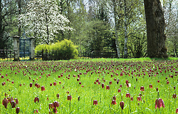 Meadow of Fritillaria meleagris - Snake's head fritillary - at Magdalen College, Oxford
