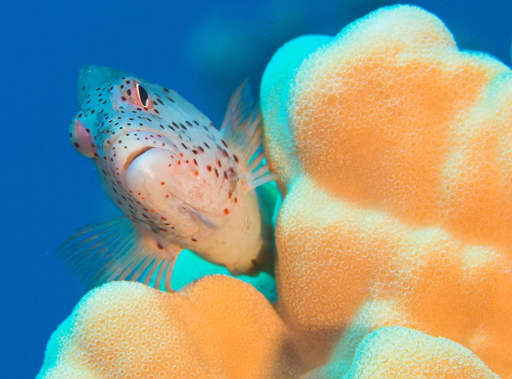 Head view of Forster's Hawkfish (Paracirrhites forsteri) at the dive site known as the nursery, Southern Egyptian Red Sea
