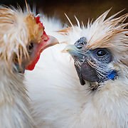 This unique specie of chicken have long feathers on their head, and hairy lower legs.