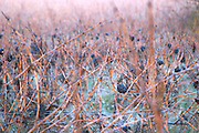 Grape bunch in frost. Limoux. Languedoc. France. Europe. Vineyard.