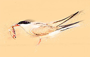 Common tern (Sterna hirundo) adult on the beach with a fish in its bill. This seabird is found in the sub-arctic regions of Europe, Asia and central North America. Digitally enhanced image
