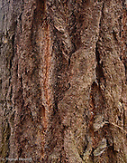 Bark of a large Douglas Fir