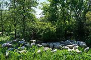 Herd of sheep in the shadow of some trees   Kudde schapen in de schaduw van een paar bomen.