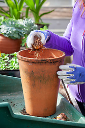 Planting a lily bulb in a deep terracotta pot