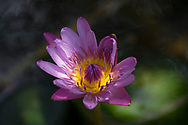 Nymphaea capensis, a purple water lily with yellow centre in the Sunnyside Garden, St. George's, Grenada, West Indies, the Caribbean