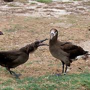 Black-footed Albatross (Diomeda nigripes) Adult feeding chick. Midway Island. Hawaii.