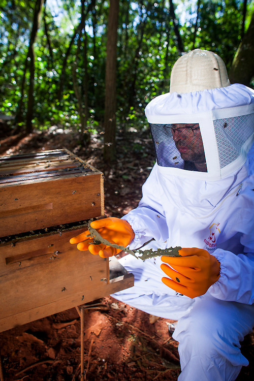 Bambui_MG, Bambui.<br /> <br /> Abelhas produzindo propolis verde em Bambui, Minas Gerais.<br /> <br /> Bees producing green propolis in Bambui, Minas Gerais.<br /> <br /> Foto: ALEXANDRE MOTA / NITRO