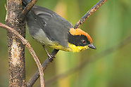 Rufous-naped Brush Finch, Atlapetes latinuchus
