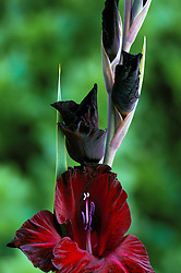 Gladiolus 'Arabian Night'