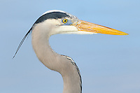 Great Blue Heron at Fort DeSoto Park in St. Petersburg, Florida. Image taken with a Nikon D3x and 300 mm f/2.8 VR lens (ISO 100, 300 mm, f/2.8, 1/1000 sec).