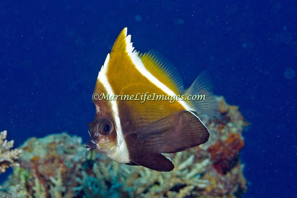 Humphead Bannerfish inhabit reefs. Picture taken Fiji.