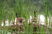 Two adult Canadian geese (Branta canadensis) on their nest with their gosling. Fitchburg, Wisconsin, United States.