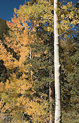 Vertical of aspens in fall, Taos Ski Valley, New Mexico<br />