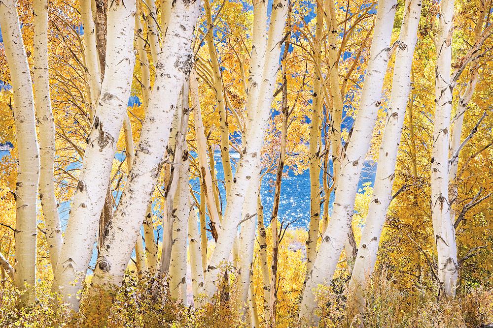 Grove of Autumn Aspen Trees Along Grant Lake, June Lake Loop, CA.