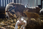 Spring is the lambing season in Scotland and Torsonce Mains Farm is busy lambing. A ewe has just given birth to two lambs and licks the birth sack and blood of the new born. The farm is owned by Stewart Ranciman and has 600 ewes all lambing from end of March till the end of April. Most will give birth to 2 lambs, occasionally 3 or even 4. The price of a 40 kg lamb is £60-70 and most are ready for sale 6-8 weeks later. Over 12 million lambs are slaughtered in the UK every year, producing more than 230,000 tonnes <br /> of meat.