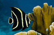 French Angelfish Juvenile (Pomacanthus paru)<br /> BONAIRE, Netherlands Antilles, Caribbean<br /> HABITAT & DISTRIBUTION: Reefs in pairs and also acts as cleaner fish. Florida, Bahamas, Caribbean, Gulf of Mexico & Brazil