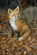 A mounted Red Fox dioroma at the American Bald Eagle Foundation museum in Haines, Alaska.