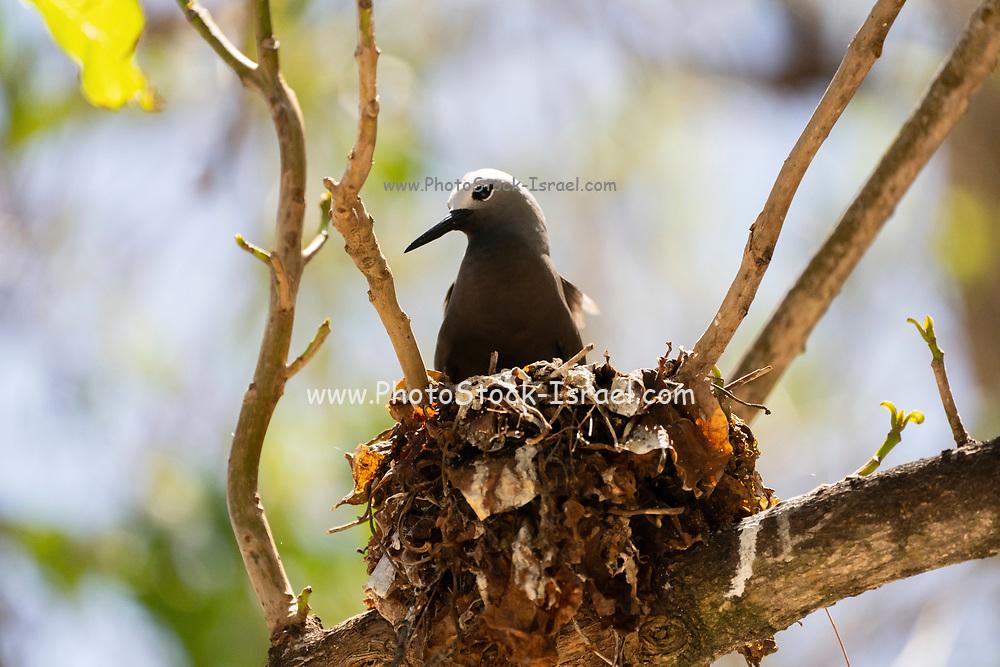 Lesser noddy (Anous tenuirostris) Nesting, Photographed on Bird Island, Seychelles in September