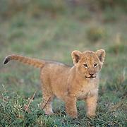 African Lion, (Panthera leo) Cub. Masai Mara Game Reserve. Kenya. Africa.