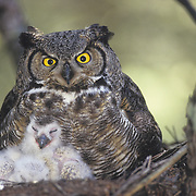Great horned owl (Bubo virginianus) adult and chicks in a nest in an old growth forest during the spring. Montana
