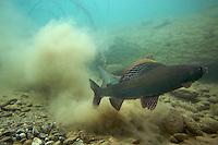 Grayling (Thymallus thymallus) <br /> Male (in front) and female just after spawning, Lake of Thoune, Thoune, Switzerland<br /> Äsche (Thymallus thymallus)<br /> Männchen (vorne) und Weibchen direkt nach Ablaichen, Thunersee, Thun, Schweiz<br /> Ombre (Thymallus thymallus)<br /> Mâle (en avant plan) et femelle sur la frayère, Lac de Thoune, Thoune, Suisse<br /> 19-03-2009