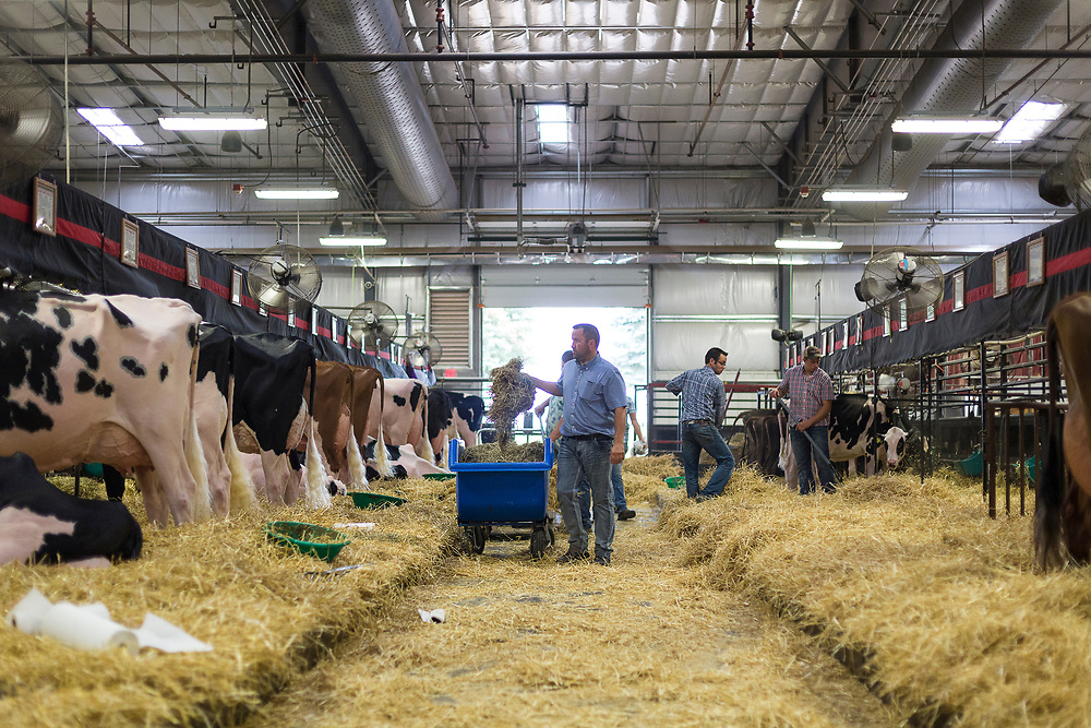 Fresh hay is distributed to cows in the exhibition hall during the World Dairy Expo in Madison, Wisconsin, U.S., October 3, 2018.  REUTERS/Ben Brewer