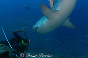 shark feeder Rusi, & tiger shark, Galeocerdo cuvier, on shark dive at Shark Reef Marine Reserve, Beqa Passage, Viti Levu, Fiji ( South Pacific Ocean )