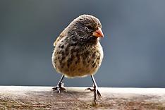 Small Ground-Finch (Geospiza fuliginosa)