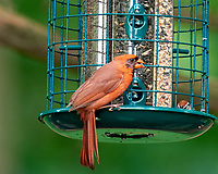 Northern Cardinal. Image taken with a Nikon D810a camera and 600 mm f/4 VR lens.