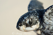 leatherback sea turtle hatchling, Dermochelys coriacea ( Critically Endangered species ), showing temporary egg tooth or caruncle on snout used to pierce egg shell during hatching, Playa Colita, Pedernales, Dominican Republic ( Caribbean Sea ); hatchling is being held prior to release, after being dug out of nest when it failed to emerge with its nest-mates