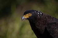 Crested Serpent Eagle, young bird, Spilornis cheela, Yangmingshan National Park, Taiwan