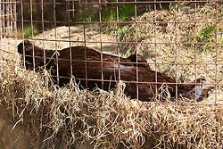 Black Leopard, Big Cat Rescue