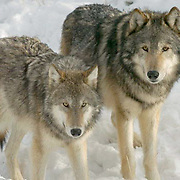 Gray wolf (Canis lupus) Two adult males in snow. Montana. Winter.  Captive Animal.