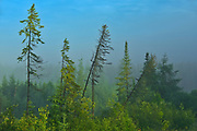 Morning fog and the boreal forest<br />