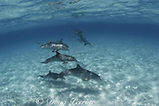 bottlenose dolphins, Tursiops truncatus, Abaco Islands, <br /> Bahamas ( Western Atlantic Ocean )