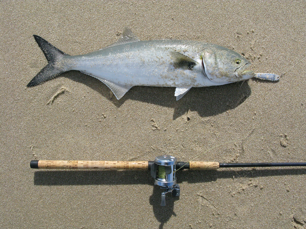 A small 2 pound blue fish eating a hopkins metal lure in the surf of Sandy Hook National Park New Jersey.