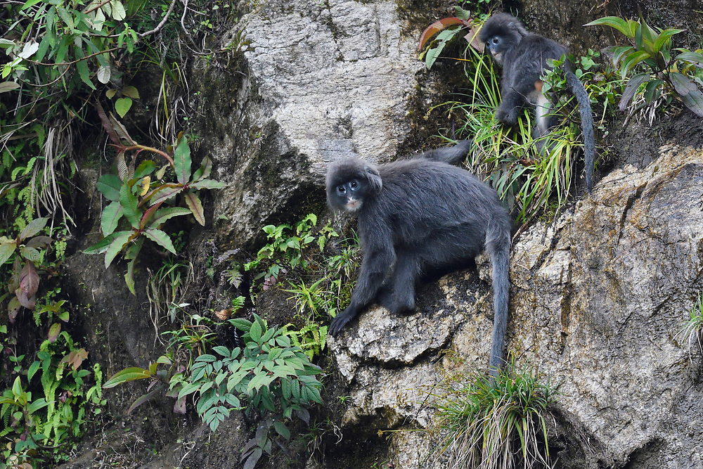 Phayre's leaf monkey or Phayres langur, Trachypithecus phayrei, He Xin Chang Forest reserve, Dehong Prefecture, Yunnan Province, China