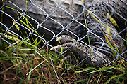 Colorado Gators Reptile Park located 17 miles north of Alamosa, CO. on Highway 17.