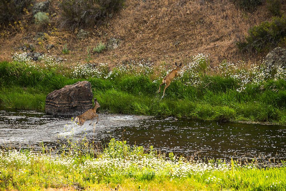 Deer Crossing<br /> Unknown, Oregon