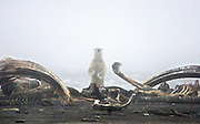 A polar bear framed by the remains of a dead bowhead whale sniffs the air near the coast of the Arctic National Wildlife Refuge. The 3,800 polar bears that live off Alaska's coast face an uncertain future as global warming melts more of the Arctic's summer sea ice each year, forcing them to spend more time on land competing with grizzly bears and people. (Steve Ringman / The Seattle Times, 2005)
