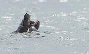 A Leopard Seal (Hydrurga leptonyx) is killing a Chinstrap Penguin off Penguin Island, Antarctica