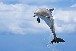common bottlenose dolphin, Tursiops truncatus, calf leaping, Atlantic Ocean (c)