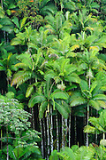 A vertical view of the lush, tropical foliage on the island of Hawaii.