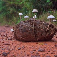 Wild Panaeolus antillarum mushrooms growing in elephant dung at Pang Sida National Park, Thailand.
